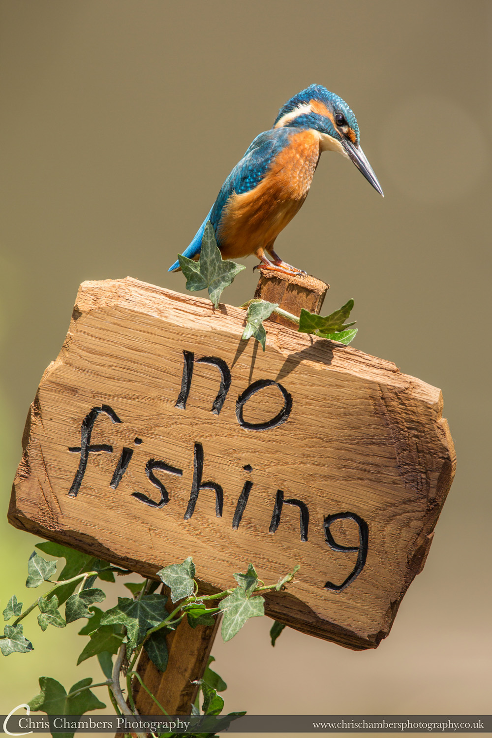 Kingfisher nature photography