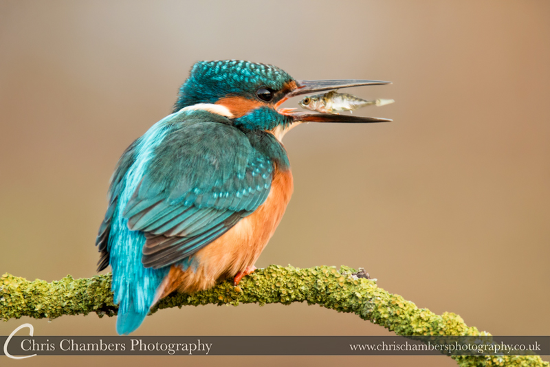 Kingfisher Alcedo atthis UK Kingfisher photography. Nature photography from Chris Chambers