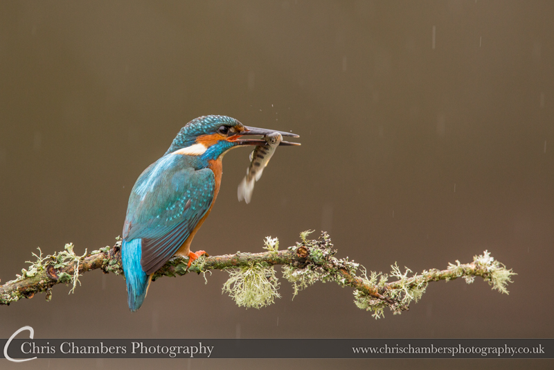Raining Kingfisher. Award winning wildlife photographer.