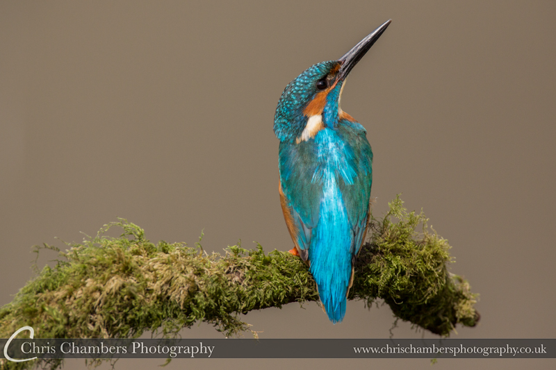 Male Kingfisher looking for predators.