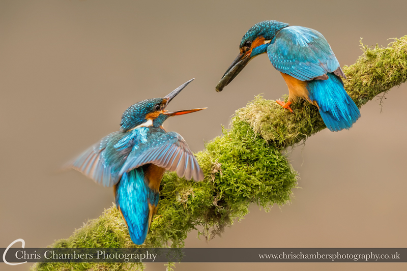 Kingfisher birds pass fish. male and female Kingfishers UK