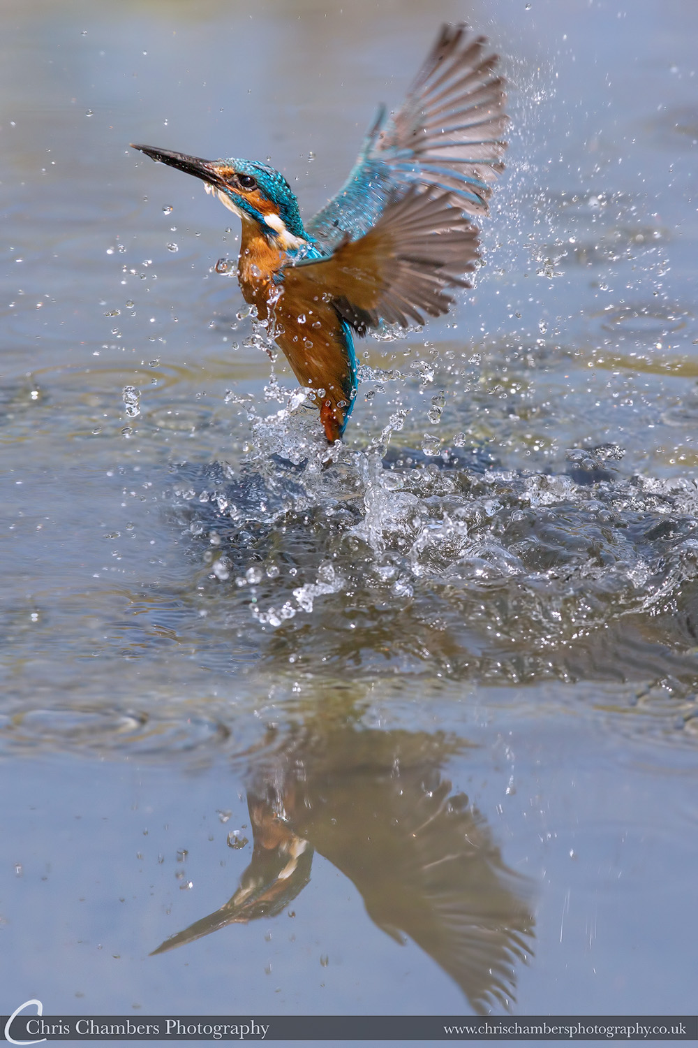 Kingfisher bursts from the water with fish. Alcedo at this Diving Kingfisher photography. Yorkshire wildlife photography