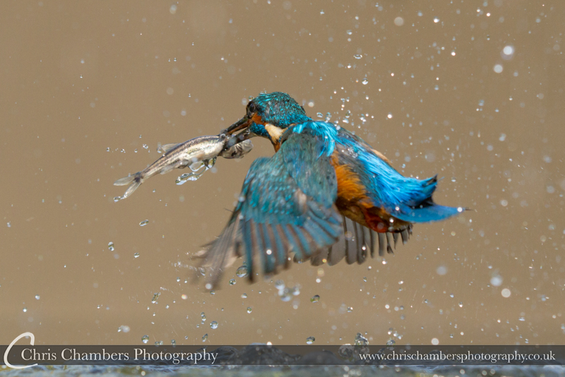 Kingfisher flies away with catch. Fish in beak kingfisher photograph.