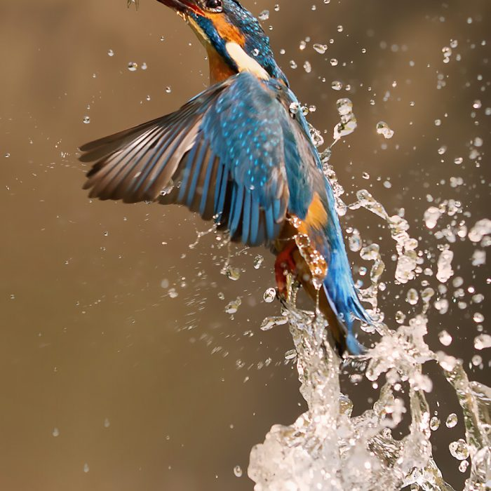 Award Winning Kingfisher Photographs - UK Wildlife Photography | Yorkshire Wildlife Photographer