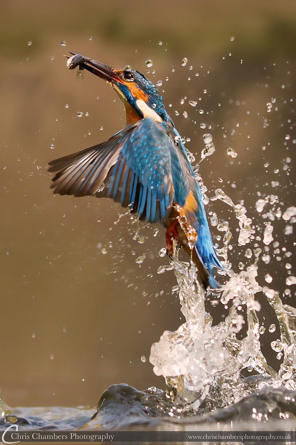 Kingfisher - Diving kingfisher photography. Award winning nature photography from Chris Chambers