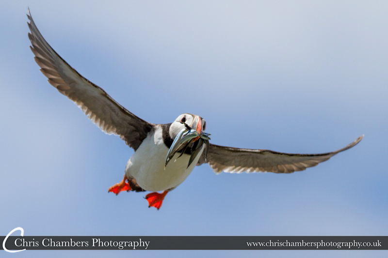 Puffin at the Farne Islands.