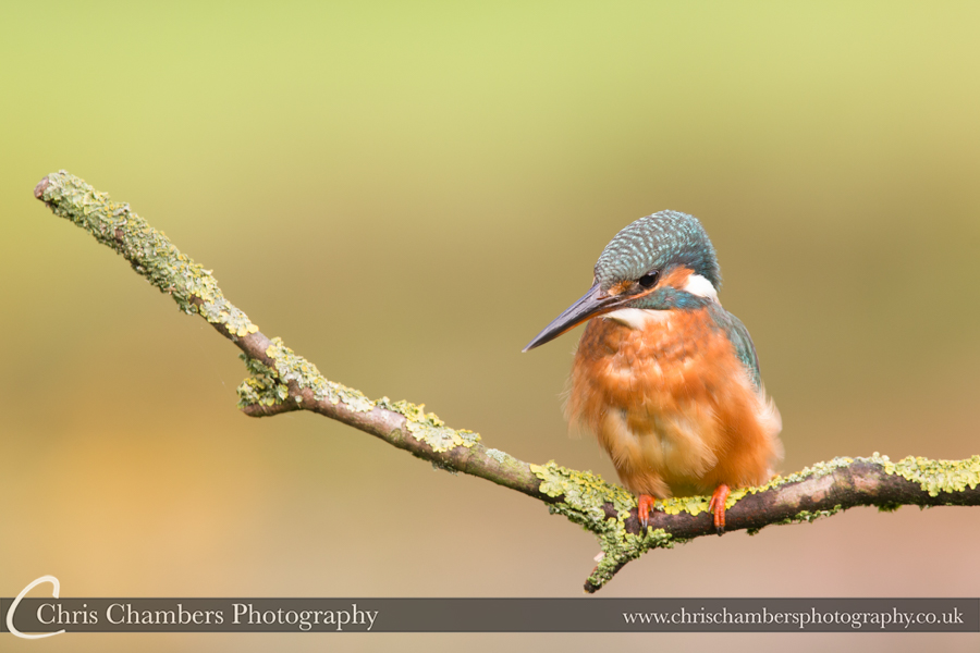Kingfisher photography - Yorkshire wildlife photographer