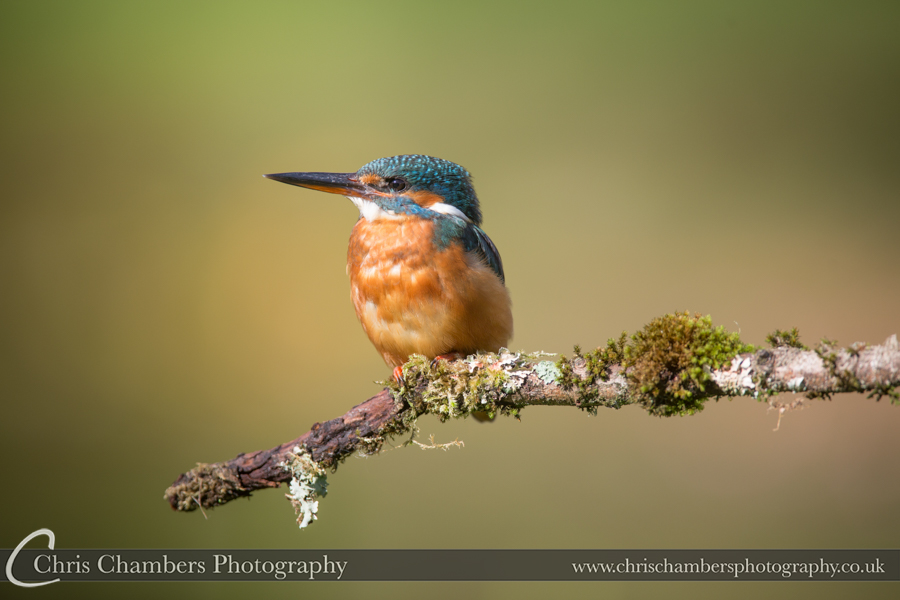 Award winning wildlife photography. Kingfisher photography - Yorkshire wildlife photographer