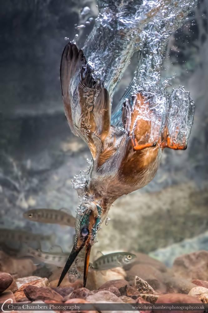 Award-winning-kingfisher-photograph